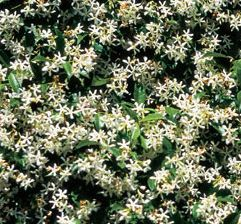 chinese star jasmine climber, garden idea for side wall