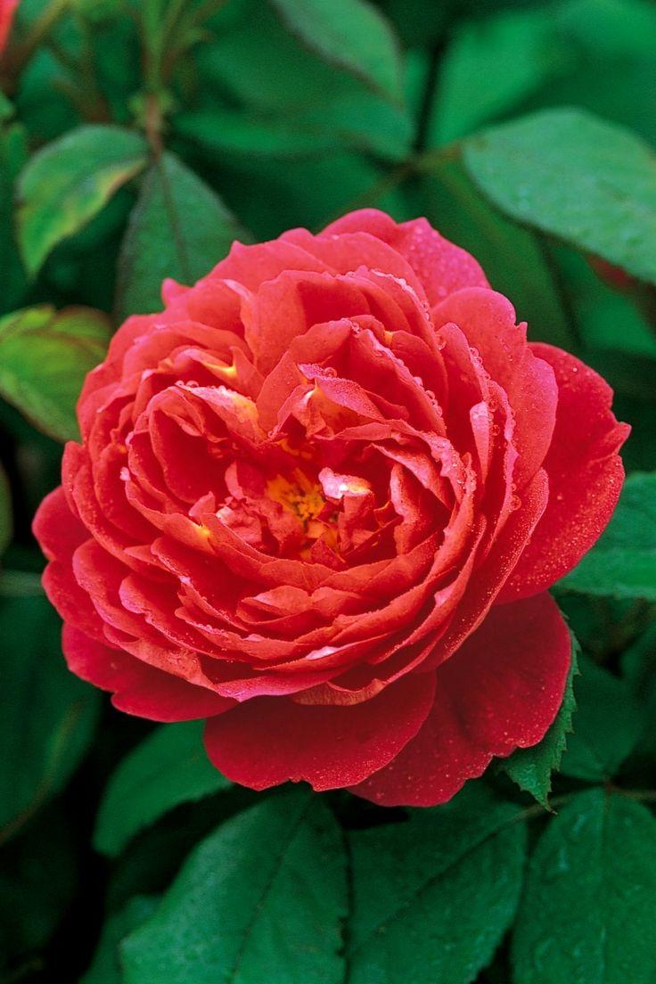 'Benjamin Britten' | Shrub. English Rose Collection. Austin 1992