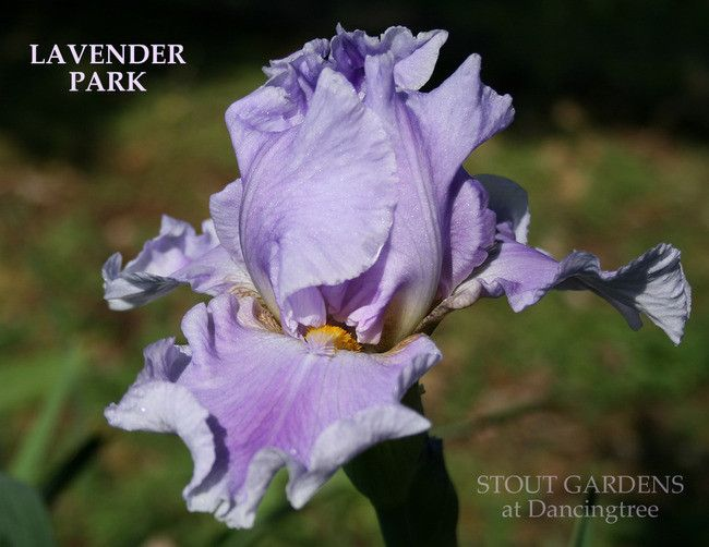 TB Iris germanica 'Lavender Park' (Grosvenor, 1998)