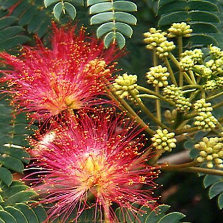Arbre à soie ou Albizia 'Ombrella' - Plantes et Jardins