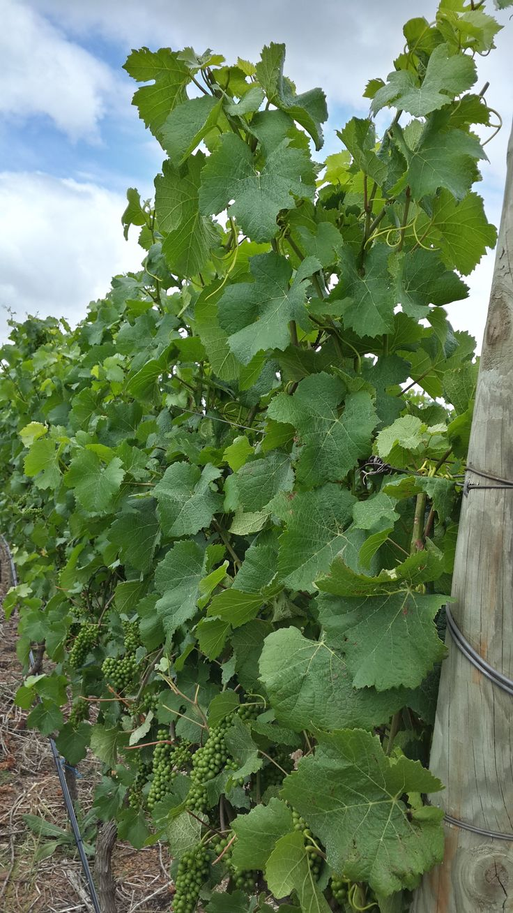 our 2015 vintage on the vine