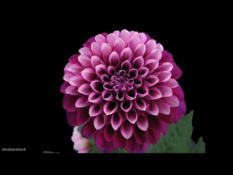 I Could Watch Flowers Blooming All Day Youtube Flower Watch Different Types Of Flowers Flowers
