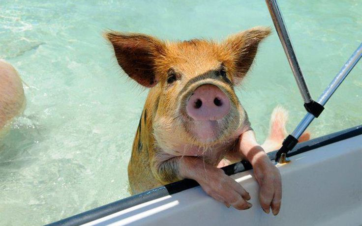 """Pigs aren't usually considered the cuddliest of creatures, but when they're swimming in the ocean—as opposed to splashing in the mud—they're downright adorable. Want to practice your backstroke alongside Wilber? Head down to """"pig beach"""" on Big Major Cay in the Bahaman island of Exuma, and dive right into the crystal-clear waters alongside the swine. It's not a new tourist attraction, but it's certainly one for the bucket list."""