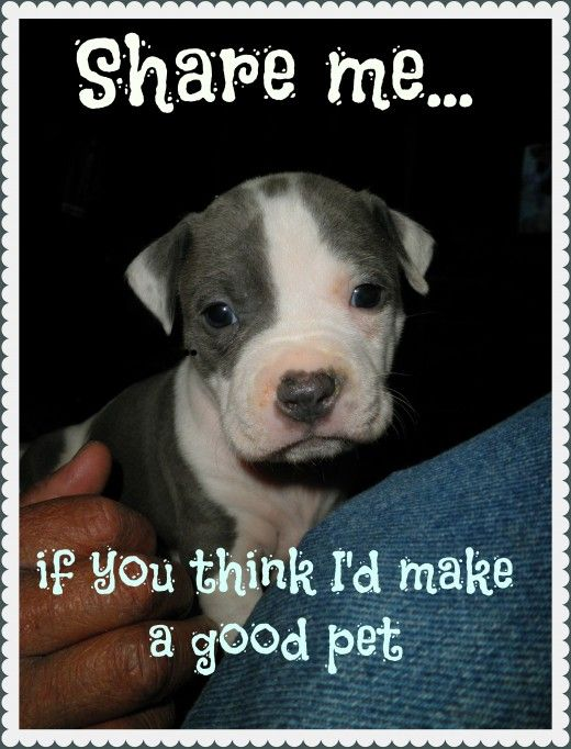 Do #Pit #Bulls make good pets? Pitbull Granny shares her thoughts about her Grand-Dogs.