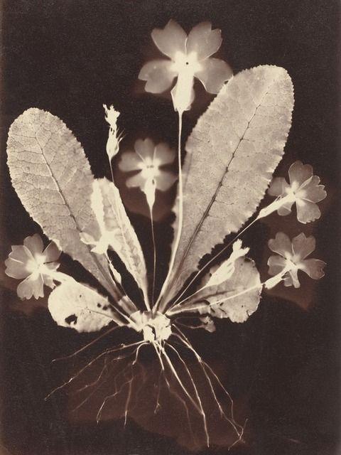 Botanical photogram, 1860.