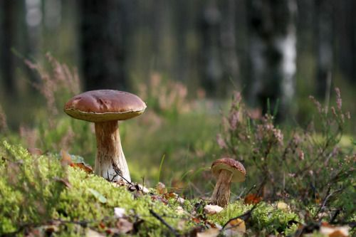 fairy mushrooms growing mushrooms magical mushrooms mushrooms fungus ...