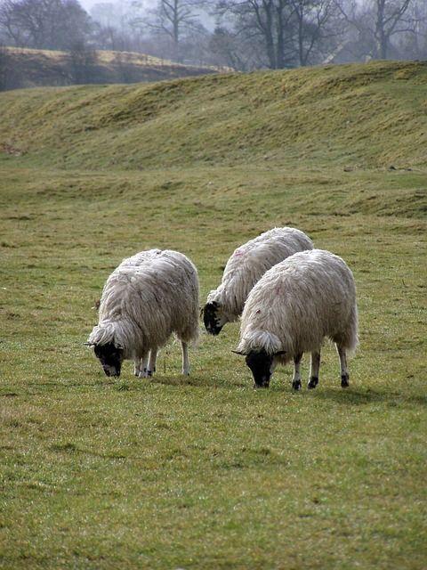 Wypas przyjazny dla środowiska! Sprawdź: http://puszystaowca.pl/ekologiczny-wypas-owiec/