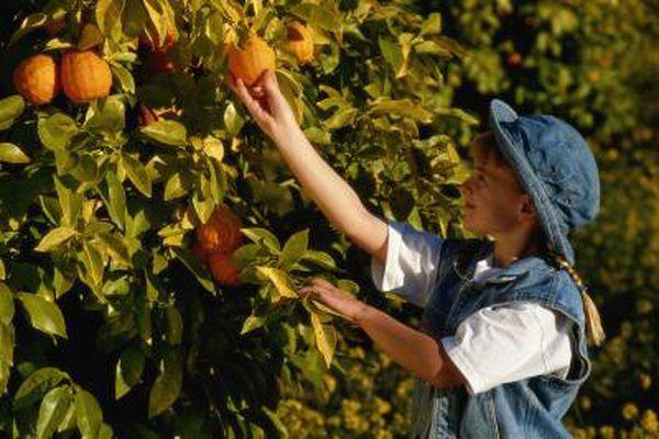 Fertilizing Cycles For Citrus Trees Citrus Trees Orange Tree Citrus