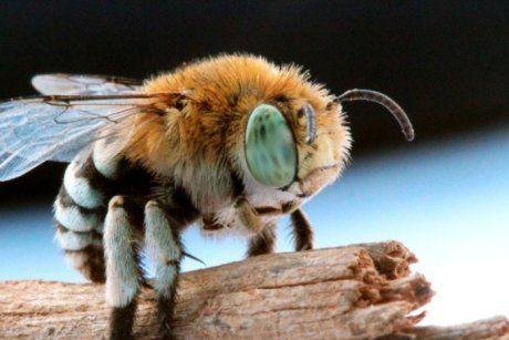 Australian native blue banded bee