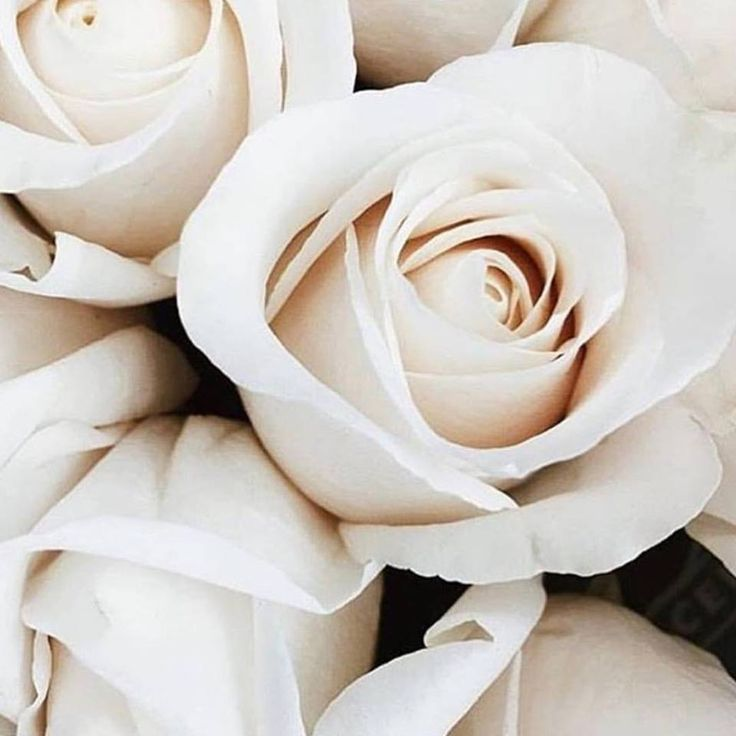 Perfect white roses