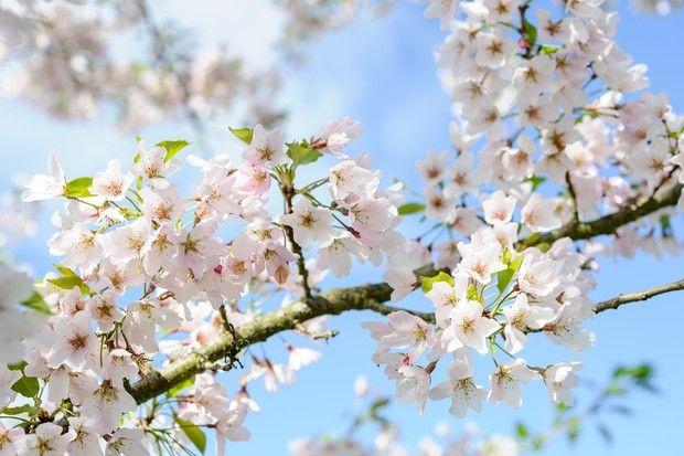 Plants For A Japanese Garden Peach Blossom Tree Ornamental Cherry Flowering Pear Tree