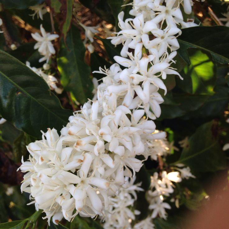 Flor do Cafezal