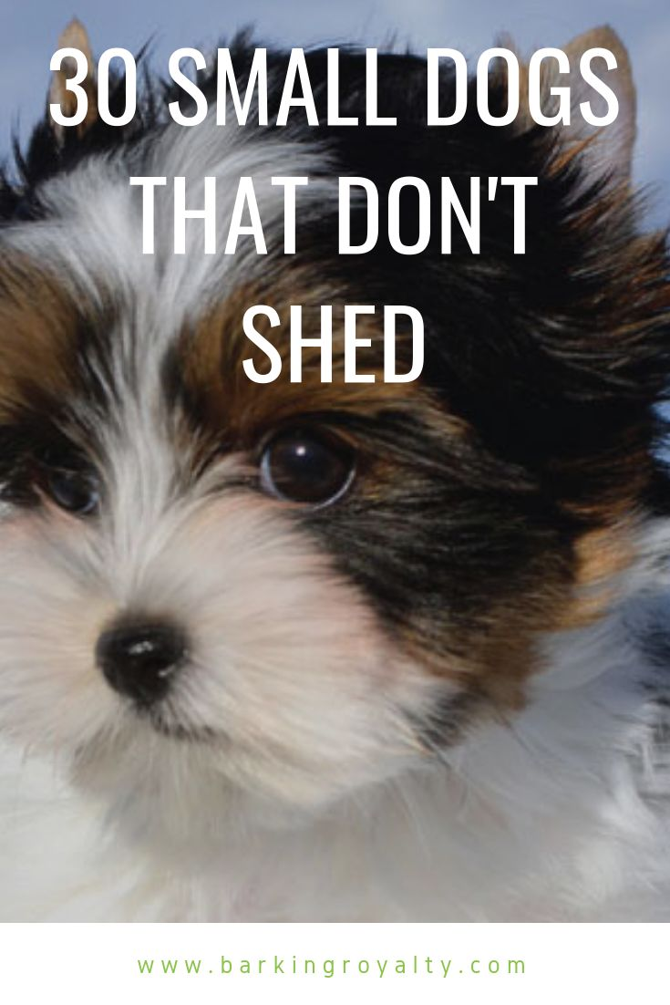 30 Small Hypoallergenic Dogs That Don T Shed Dogs Dog