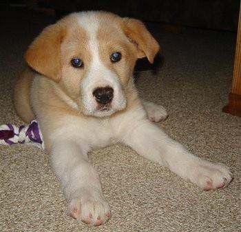 Polyvore pets lab, Cute animals, Dog