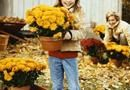 Deadheading chrysanthemums (Chrysanthemum indicum or Dendranthema x morifolium) neatens them up and extends the blooming period. Hand pruners work well for removing spent flowers even from large mums ...