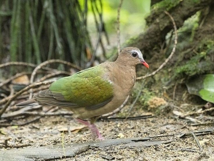 Common Emerald Dove (f) _ JBP | by mahi mahi 163