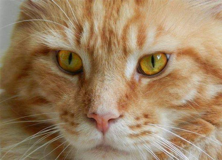 Querubins Loki Maine Coon Cat  My red King