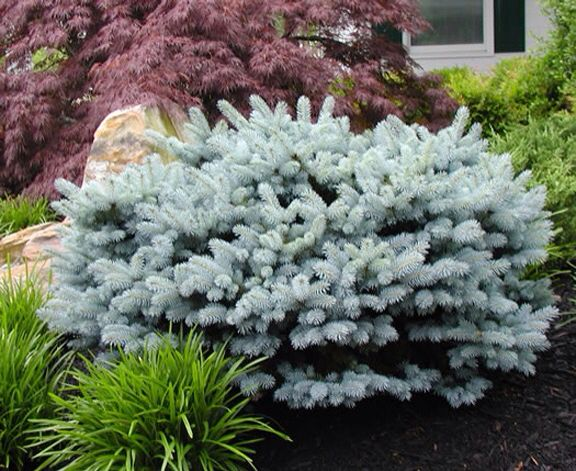 Add a dwarf globe blue spruce to provide #color and #contrast to a dwarf #JapaneseMaple in the #frontyard.