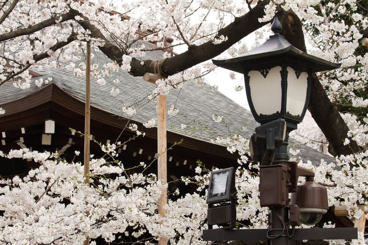 """Japan's Cherry Blossom - Cherry blossom is known as """"sakura"""" in Japanese, and it's the country's national flower. A symbol of renewal and hope, cherry blossom heralds the arrival of spring each year, and you'll see it in abundance from late March to mid-April.15 Facts About Sakura 