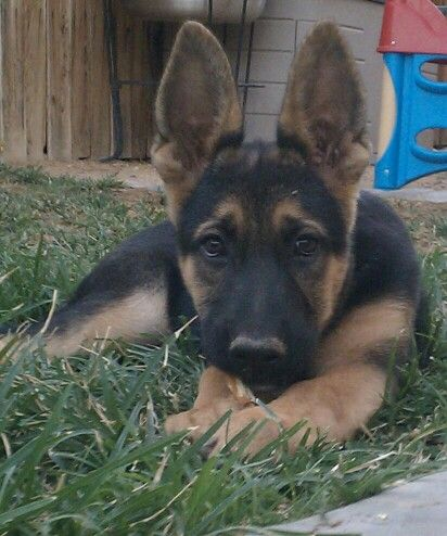 4 month old German Shepherd Dog, Nash