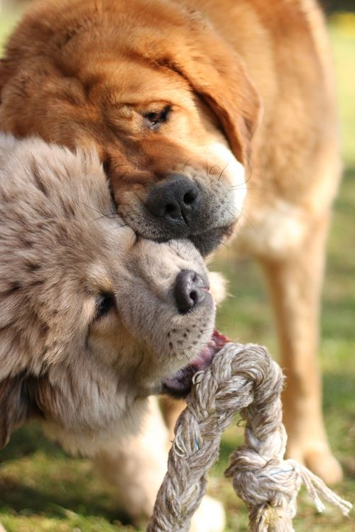 **Tibetan Mastiff Dogs - These and the Dogo = awesome I had one as a kid. Toby. He had a pacifier! Some dumbass touched it and Toby sniped him. :( My parents were forced to put him down. Yet another reason i don't like people that much as i do dogs.