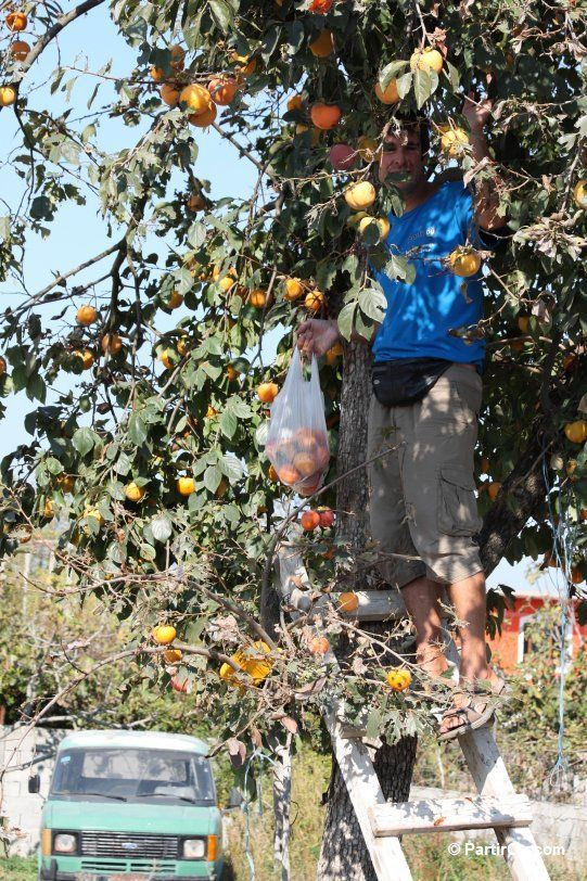 Cueillette de kakis en Albanie