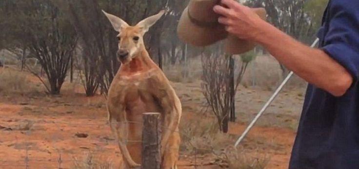 Roger, el canguro australiano musculoso - http://www.absolutaustralia.com/roger-el-canguro-australiano-musculoso/