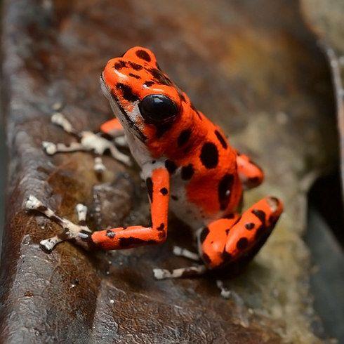 Ranas venenosas de dardo | 22 animales de colores muy vivos que se ven demasiado hermosos como para ser reales