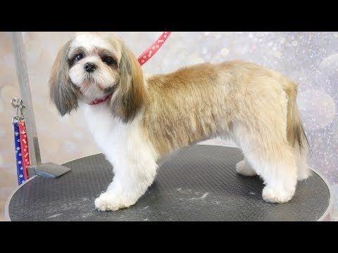 Grooming Guide Full Grooming Shih Tzu Puppy 48 Youtube