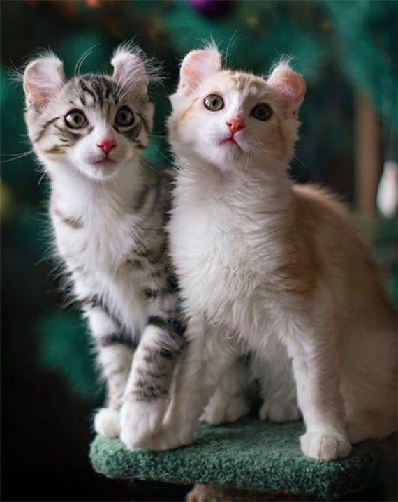 American Curl Cat Americancurlcat Catbreeds Catwithcurls
