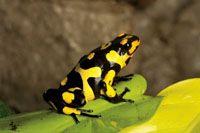 El Chocó Biogeográfico es una de las regiones con mayor diversidad de especies de ranas del mundo.