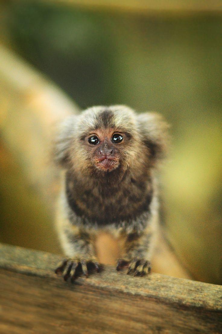 14 best common marmoset images on pinterest marmoset monkey