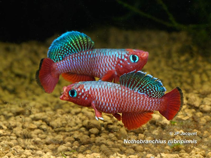 Bluefin Notho Killifish Nothobranchius rubripinnis. this is a sweet ...
