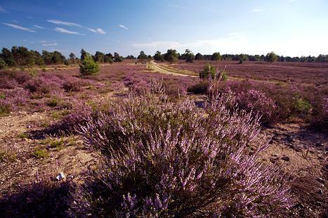 Im Herbst verwandelt sich die Lüneburger Heide in einen Traum in Pink