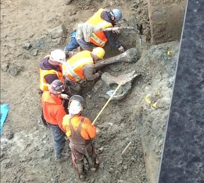 Watch: Mammoth bones unearthed at Oregon State University