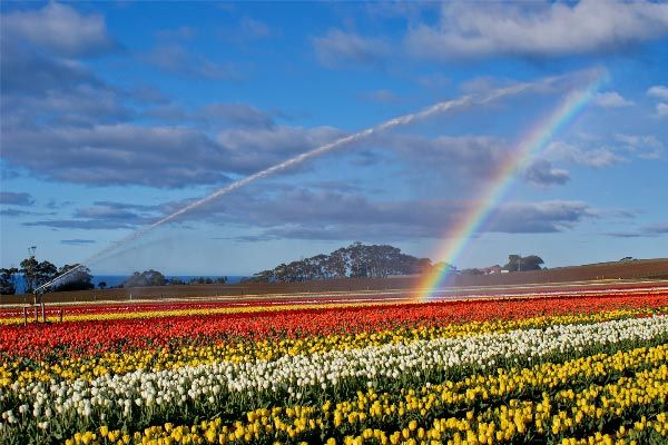 Tulips, by @Carol M Haberle for www.think.tasmania.com