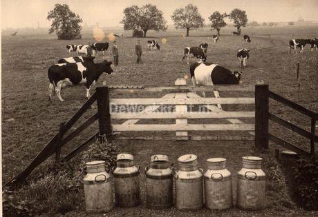 Zo de koeien zijn weer gemolken!