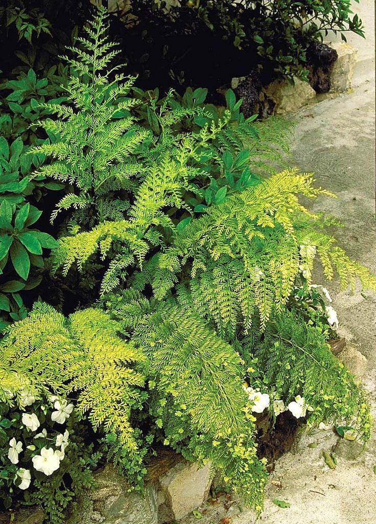 Care information for mother fern monrovia mother fern for Garden plant information
