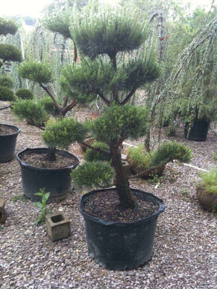 Pinus Sylvestris Ornamental Landscape Plants Pinterest