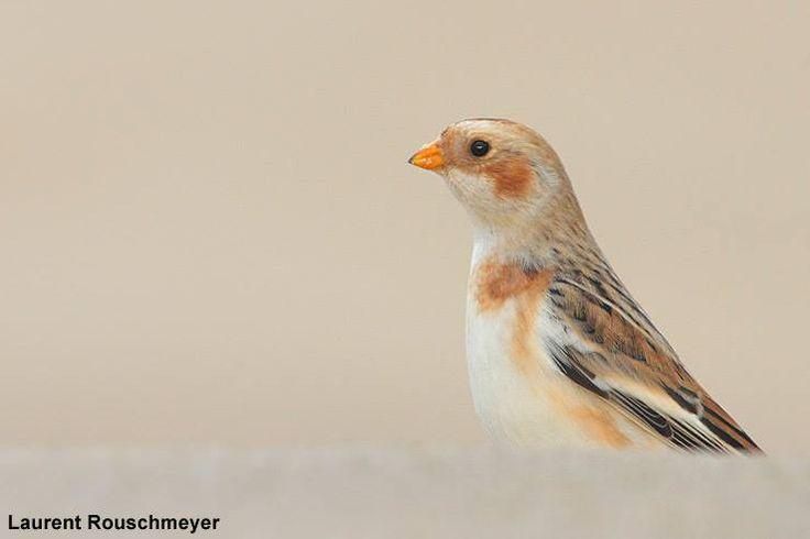 L'un des seuls Bruants des neiges de cet automne en France | Photo de Laurent Rouschmeyer : un des seuls Bruants des neiges (Plectrophenax nivalis) observés en France depuis le début du mois de novembre. #ornithologie #oiseaux #nature