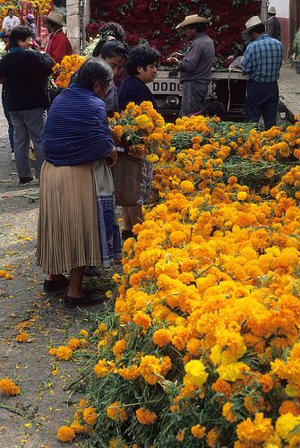 Women choose marigolds (tagetes; cempasuchiles) from a huge pile of fresh cut flowers at the Day of the Dead flower market in Patzcuaro Michoacan Mexico. The truck in the background is loaded with dark red cock's comb flowers