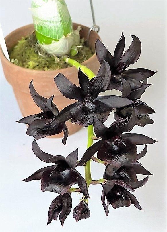 Orquídea Negra Monnierara Millennium Magic 'Witchcraft' FCC/AOS - COR NEGRA NATURAL MUITO RARA - Jardim Exótico - O maior portal de mudas do Brasil.