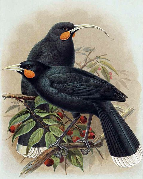 The Huia (Māori: [ˈhʉia]; Heteralocha acutirostris) was the largest species of New Zealand wattlebird and was endemic to the North Island of New Zealand. Its extinction in the early 20th century had two primary causes. The first was rampant overhunting to procure Huia skins for mounted specimens, which were in worldwide demand by museums and wealthy private collectors. Huia were also hunted to obtain their long, striking tail feathers for locally fashionable hat decorations.