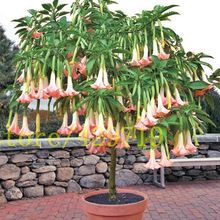 9 kolor datura nasiona bonsai KARZEŁ Brugmansia suaveolens Flamenco kwiaty dla domu ogród(China (Mainland))