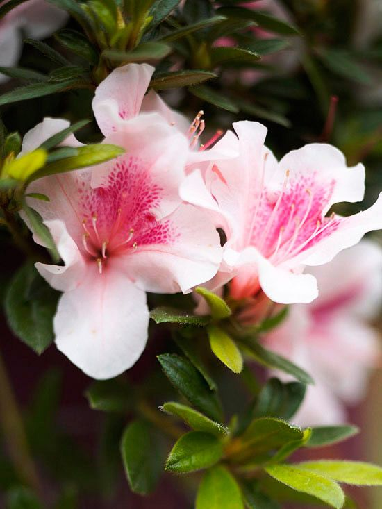 Beautiful Spring-Flowering Shrubs: Azalea.   Azaleas are beautiful, beloved fixtures of Southern gardens. Happily, plant breeders have made these colorful, versatile shrubs available for gardens in nearly every region.  Growing Conditions: Sun or shade, depending on type, and moist, well-drained soil  Size: To 15 feet or more tall and wide, depending on type  Zones: 4-10, depending on type