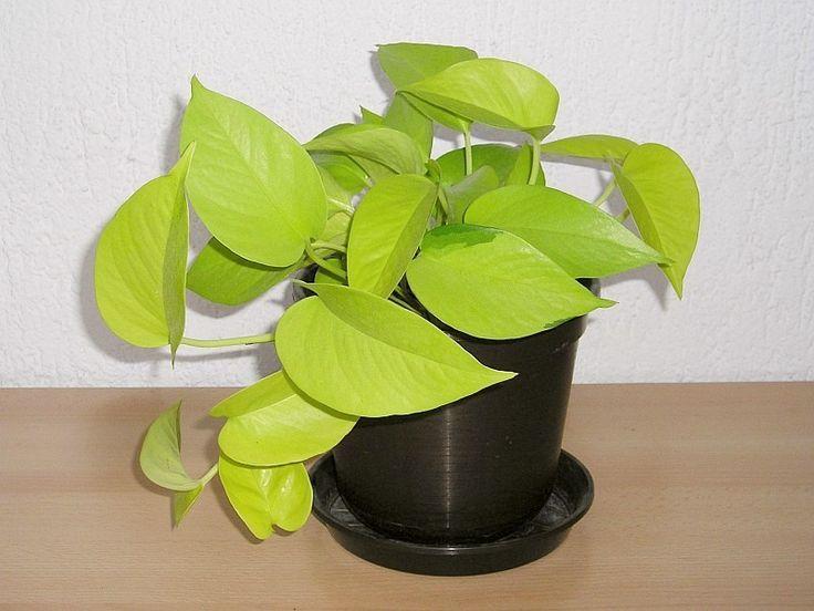 Más tamaños | Efeutute (Epipremnum pinnatum Neon) | Flickr: ¡Intercambio de fotos!