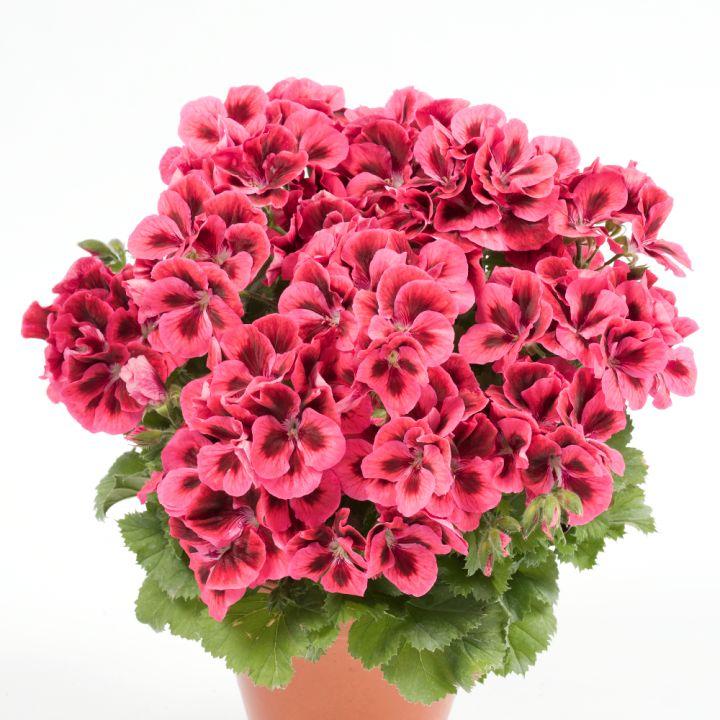 Pelargónia veľkokvetá ´CANDY FLOWERS® RASPBERRY RED´