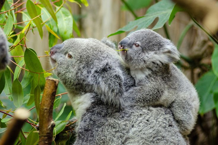 Детеныш коалы впервые покинул сумку матери: видео — National Geographic Россия
