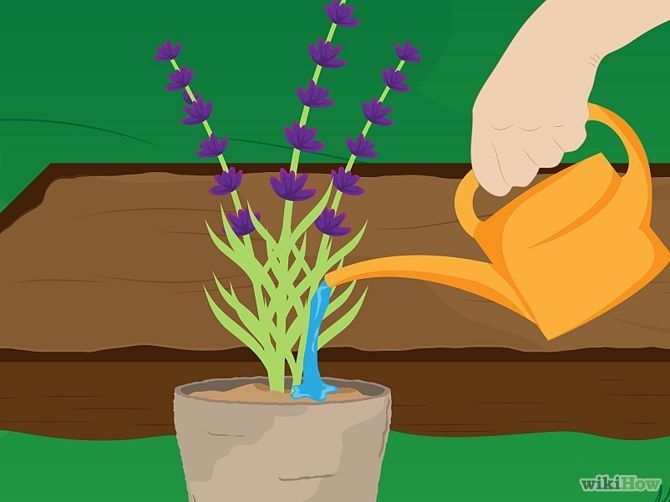 3 Ways to Grow Lavender – wikiHow