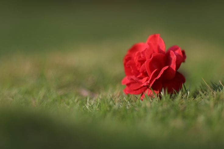 Rose,Red rose,flower